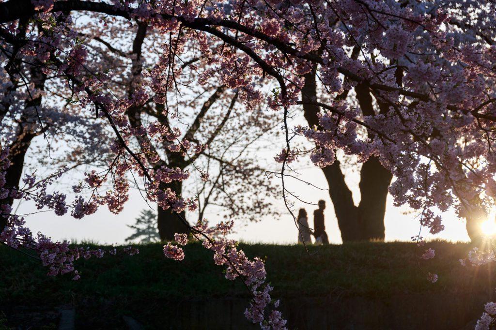 桜並木を通るカップル