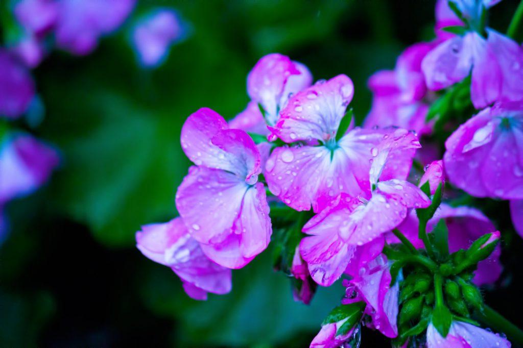 雨に濡れた紫の花
