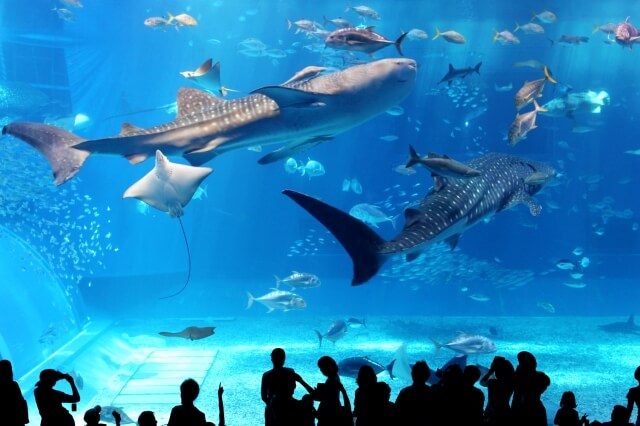 ジンベイザメが泳ぐ水槽