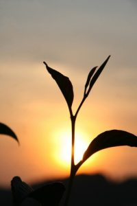 夕日に照らされる植物