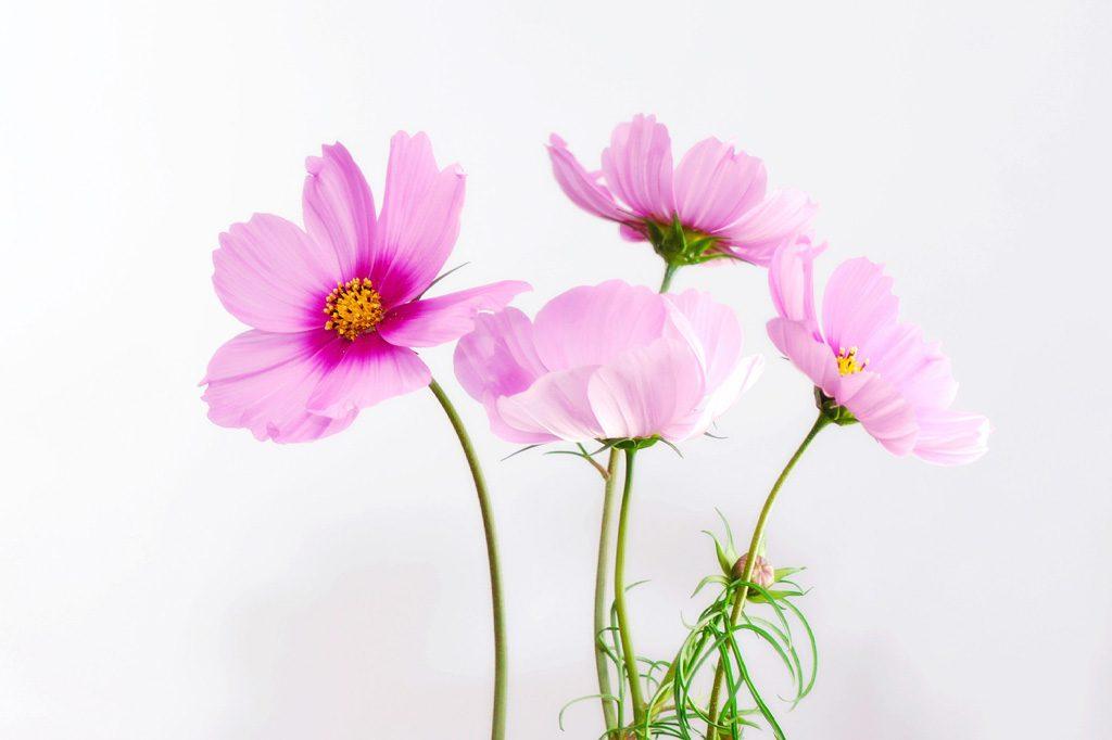 紫色のコスモスの花