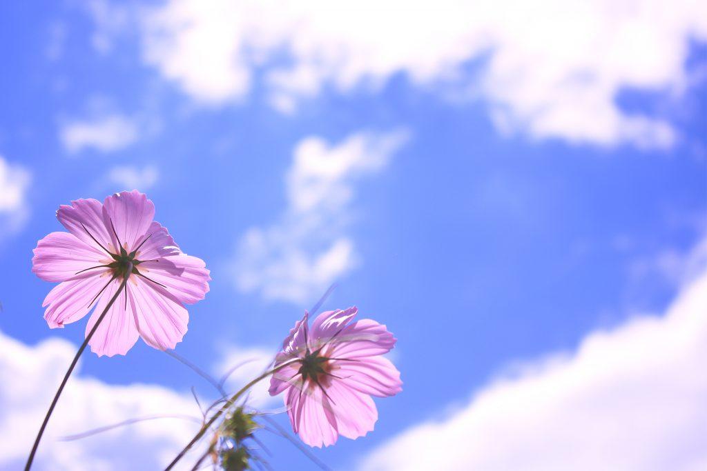 空に向かって咲いているピンク色の秋桜