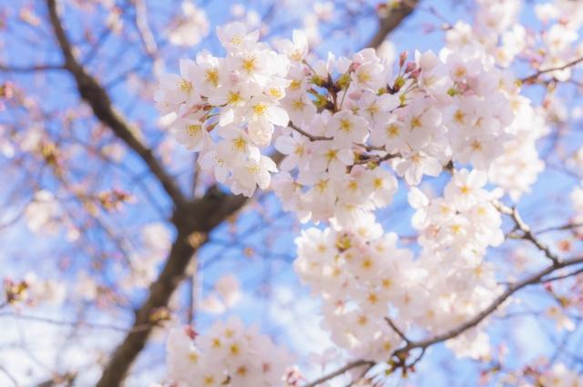 晴れの日のお花見デート