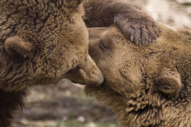 毛づくろいするクマの親子