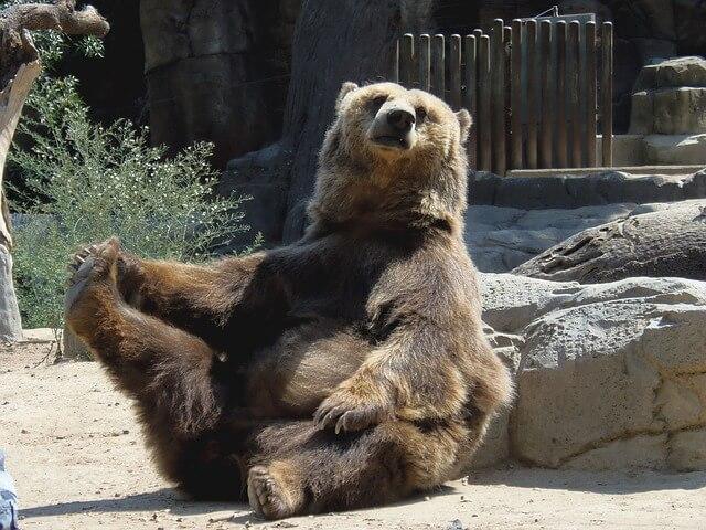 座り込む動物園のクマ