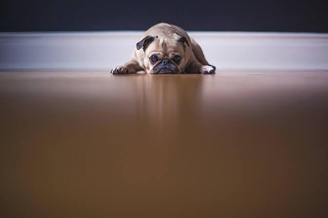 ダルそうな犬