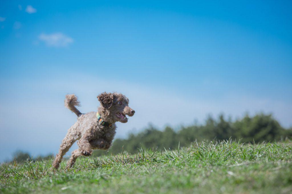 可愛い犬が草原を走り回る