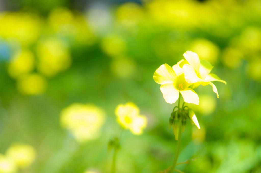 黄色い花が咲く花畑