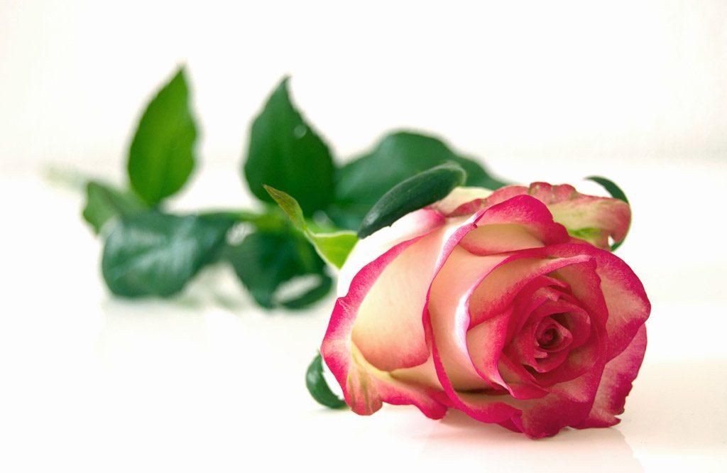 プレゼントされた赤いバラ