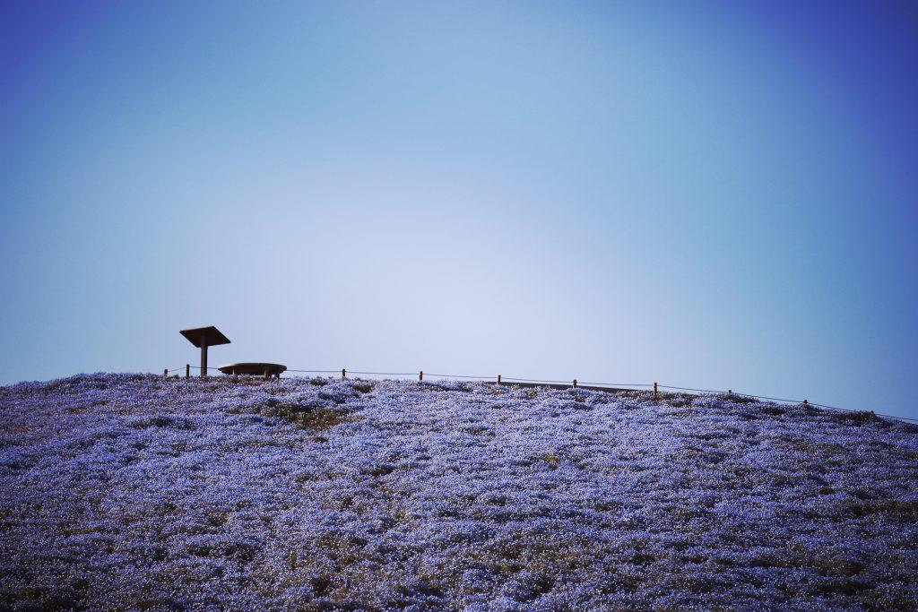 ネモフィラが咲き乱れる綺麗な丘