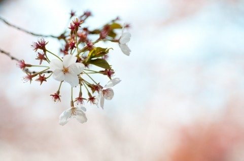 懐かしのデートで見た桜