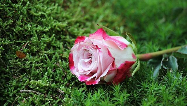 感謝の気持ちのバラ