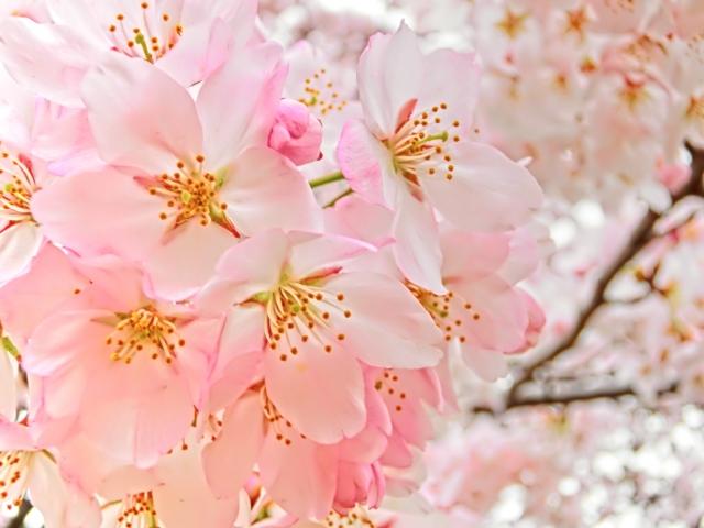 桜の咲く出会いの季節